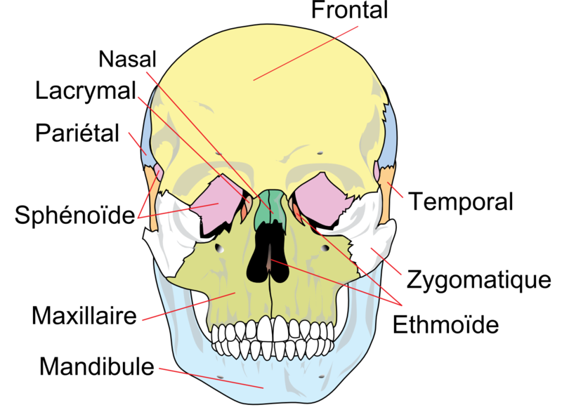 The cranium is composed of several bones fused together. © Wikipedia, by-sa 3.0