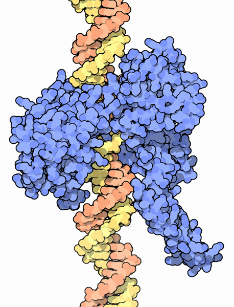 The topoisomerases (blue) which bind to DNA (orange and yellow) are a target of anti-tumour drugs. © DR.