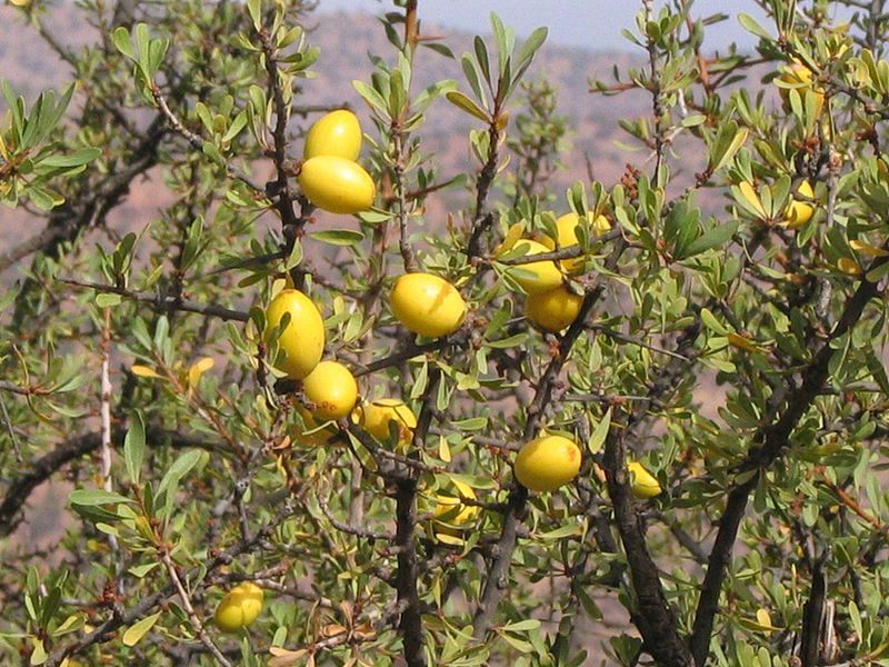 Argan oil is produced from the fruits of the argan tree. © Daniel D, Wikimedia, CC by-sa 3.0