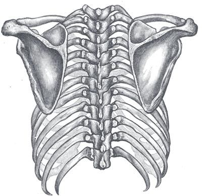 The scapula is a triangular bone which forms part of the shoulder joint. © DR