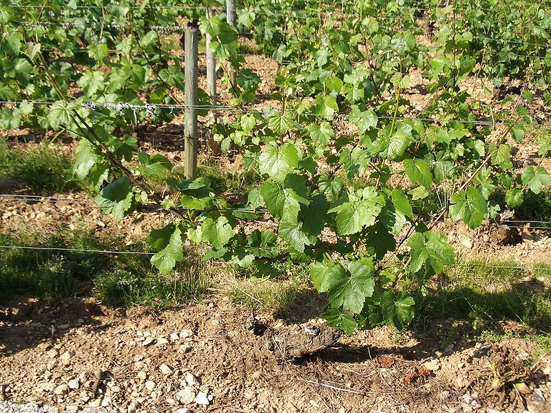 A young Chardonnay B vine in Burgundy. © JustinC, Wikipedia CC by sa 2.0