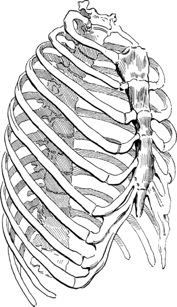 Together with the sternum, the ribs form the chest wall. © DR