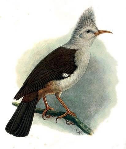 Bourbon crested starling: lithography by John Gerrad Keulemans (1842-1912)