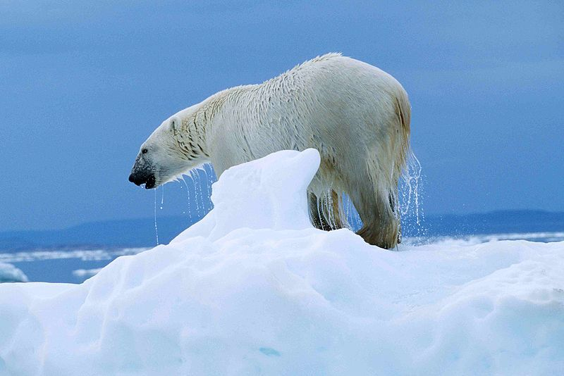 Photo of a polar bear © Ansgar Walk - Creative Commons Attribution-Share Alike 2.5 Generic