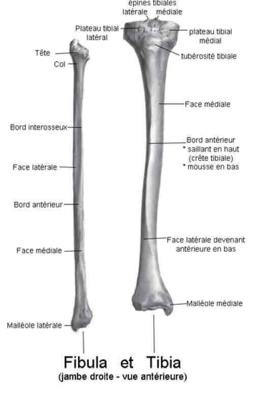 Definition Fibula Fibular