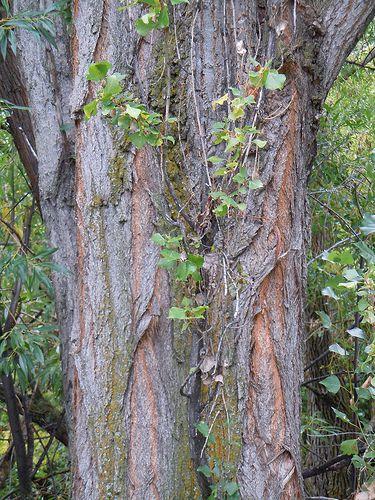 Black poplar. © Matt Lavin, Flickr CC by sa