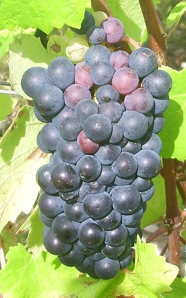 A bunch of Pinot noir grapes. © Mpmpmp, Wikipedia CC by sa 3.0