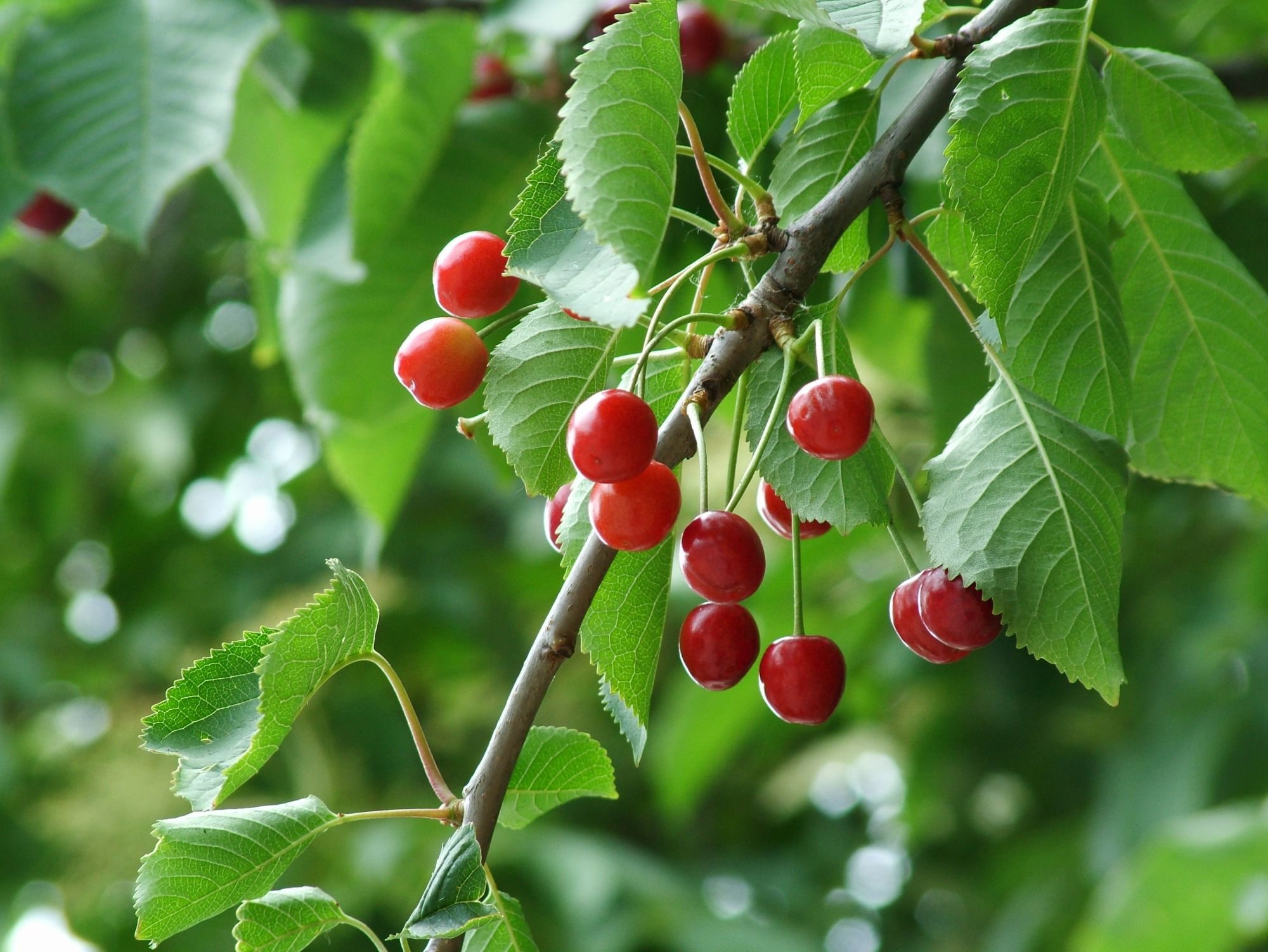The wild cherry is also called the sweet cherry. © Kenneth Brown, Flickr CC by-nc 3.0