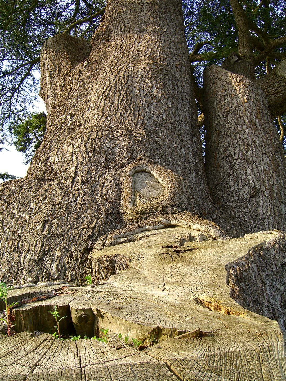 Lebanon cedar. © Eljay, Flickr CC by 3.0