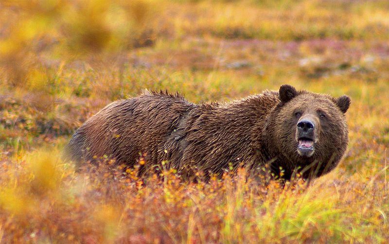Photo of a grizzly © Jean-Pierre Lavoie - GNU Free Documentation License, Version 1.2