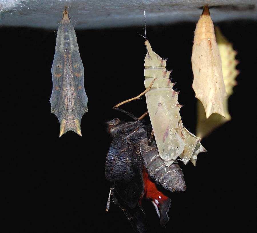 After emergence the butterfly expels the meconium. © Bernard Schmeltz